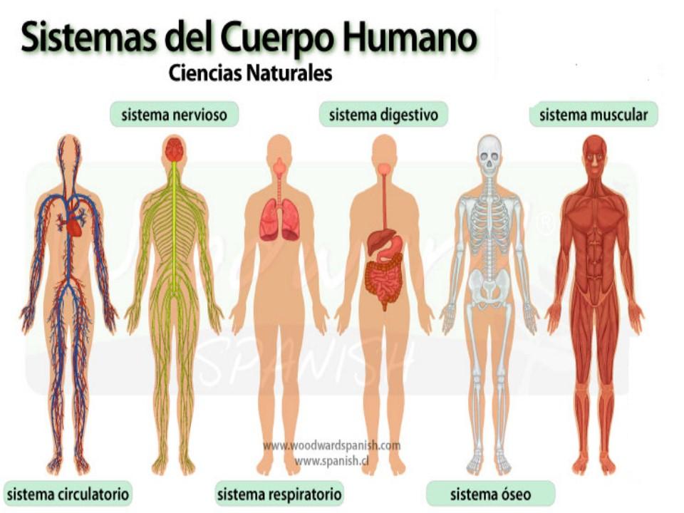 Ciencias Naturales IEFA: El cuerpo Humano