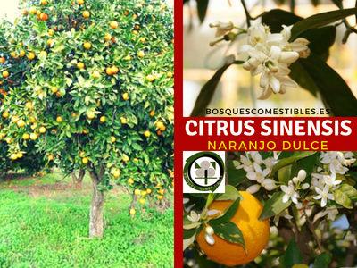Citrus sinensis, Naranjo. Su cultivo se necesita un clima cálido y agua en abundancia