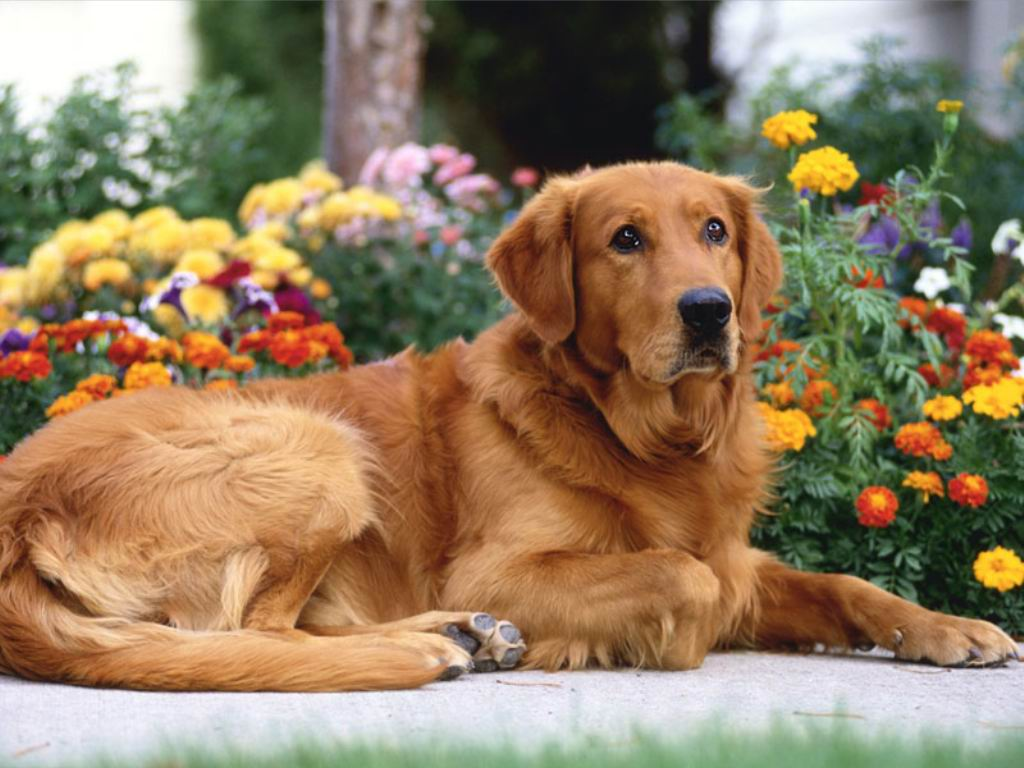 golden retriever puppy wallpapers - photo #32