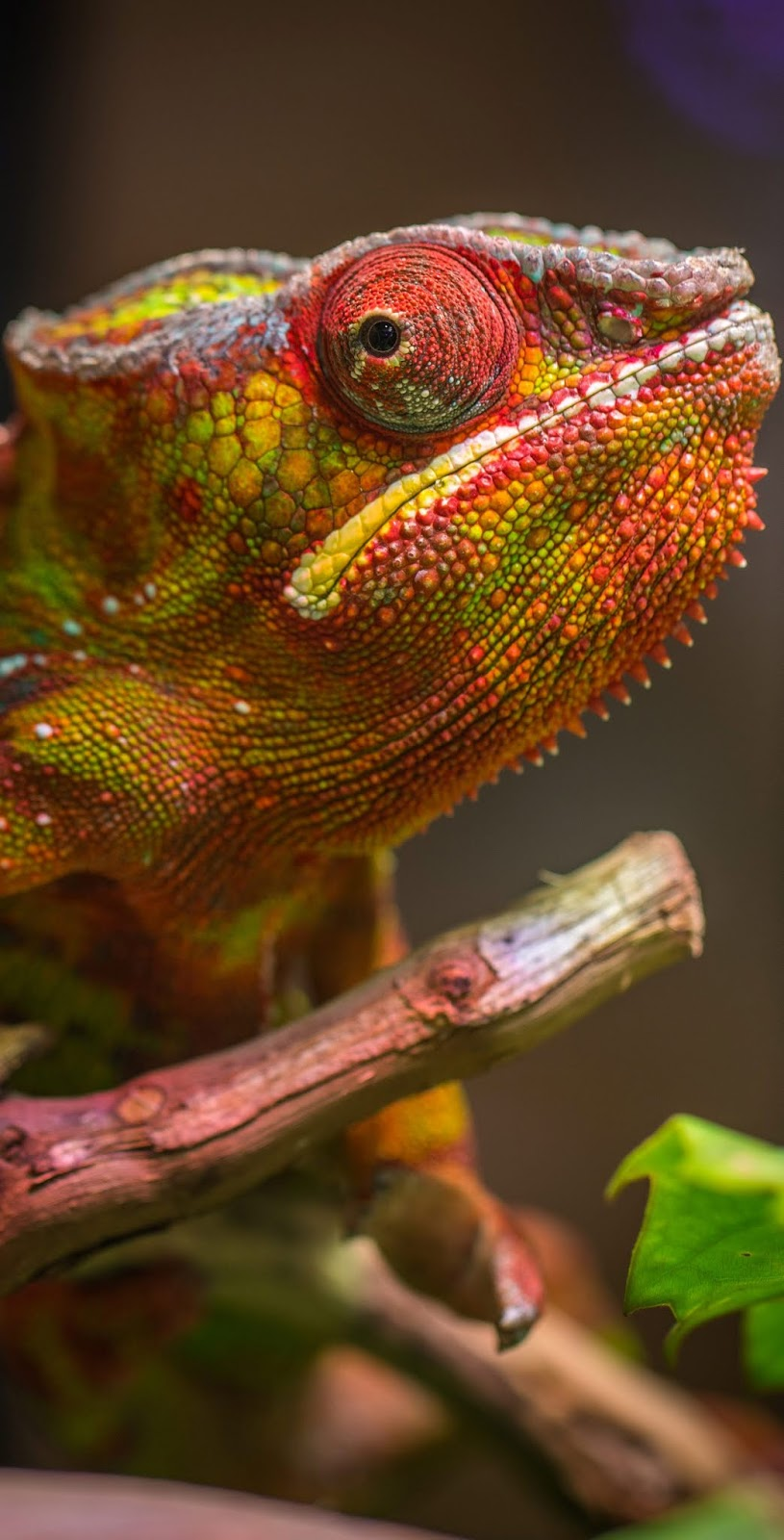 A colorful chameleon head shot.