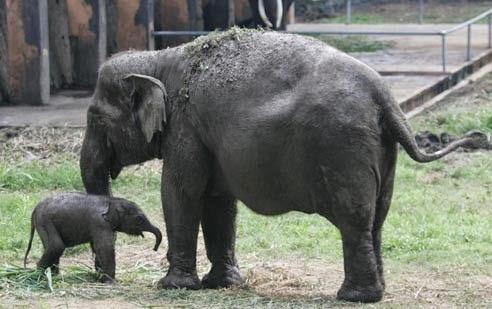 Gajah di taman satwa taru Jurug di Solo
