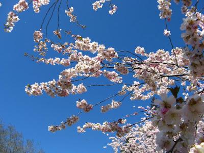 Japanese Flowering Cherry Prunus Accolade sakura blooms at Mount Pleasant Cemetery by garden muses--not another Toronto gardening blog