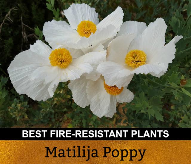 Best Fire Resistant Plants Matilija Poppy