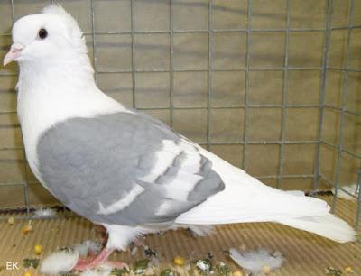 Süddeutsche Schildtaube - south german colour pigeons