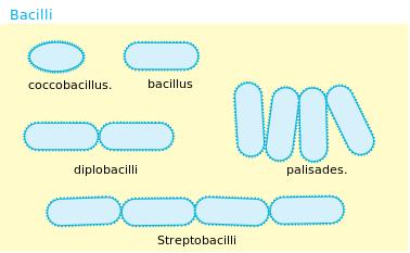 Bakteri Basil (Bacillus)
