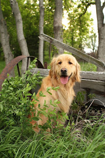 dog photography, pet photography, golden retriever, golden retriever photography