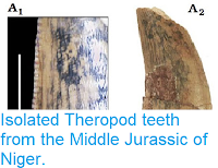https://sciencythoughts.blogspot.com/2015/08/isolated-theropod-teeth-from-middle.html