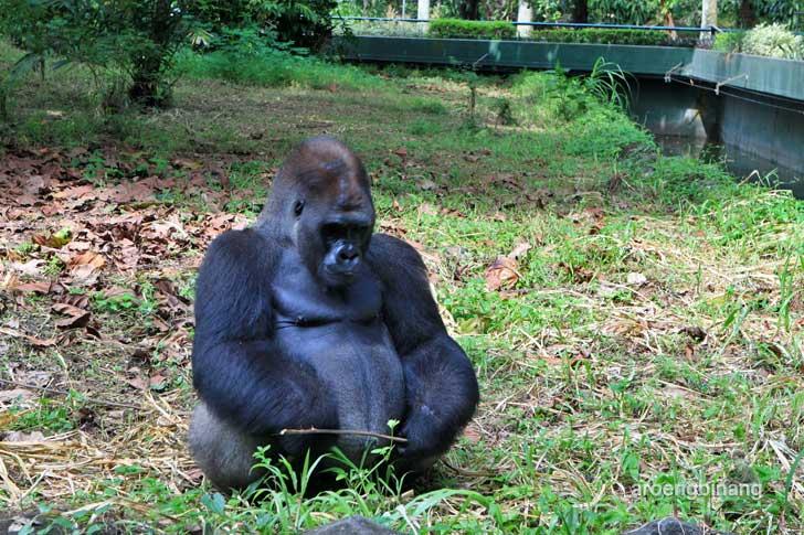gorilla kebun binatang ragunan jakarta