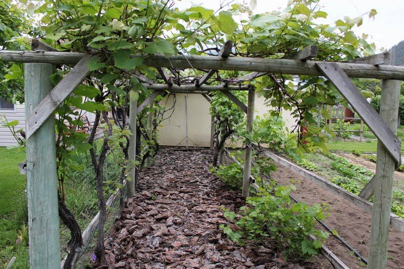 My Mountain Garden Gleanings: Growing Grapes