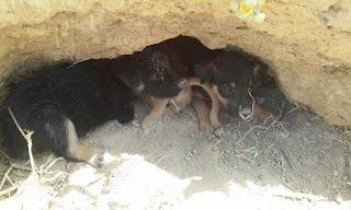 Toca com filhotes de cachorro é encontrada em Cuité, animais precisam ser adotados