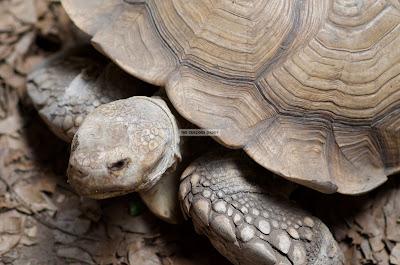 Ark Avilon Zoo - African Spurred Tortoise