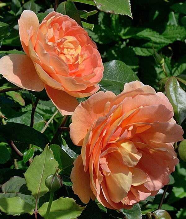 Pat Austin сорт розы фото