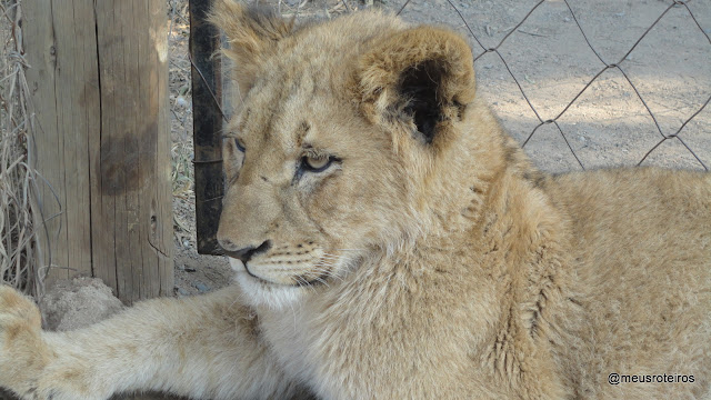 Leão no Lion Park - Joanesburgo