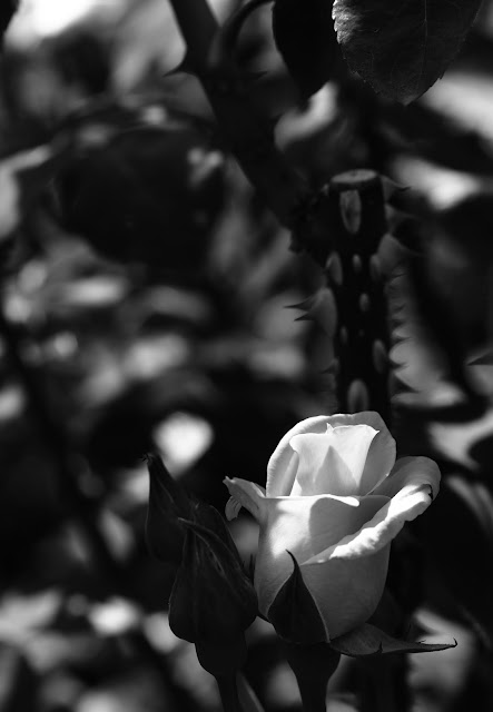 monochrome rose -1