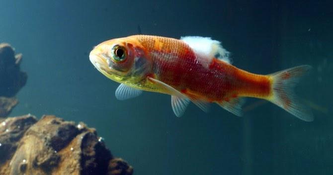 The aquarium pet store in bangalore for Fish fungal infection