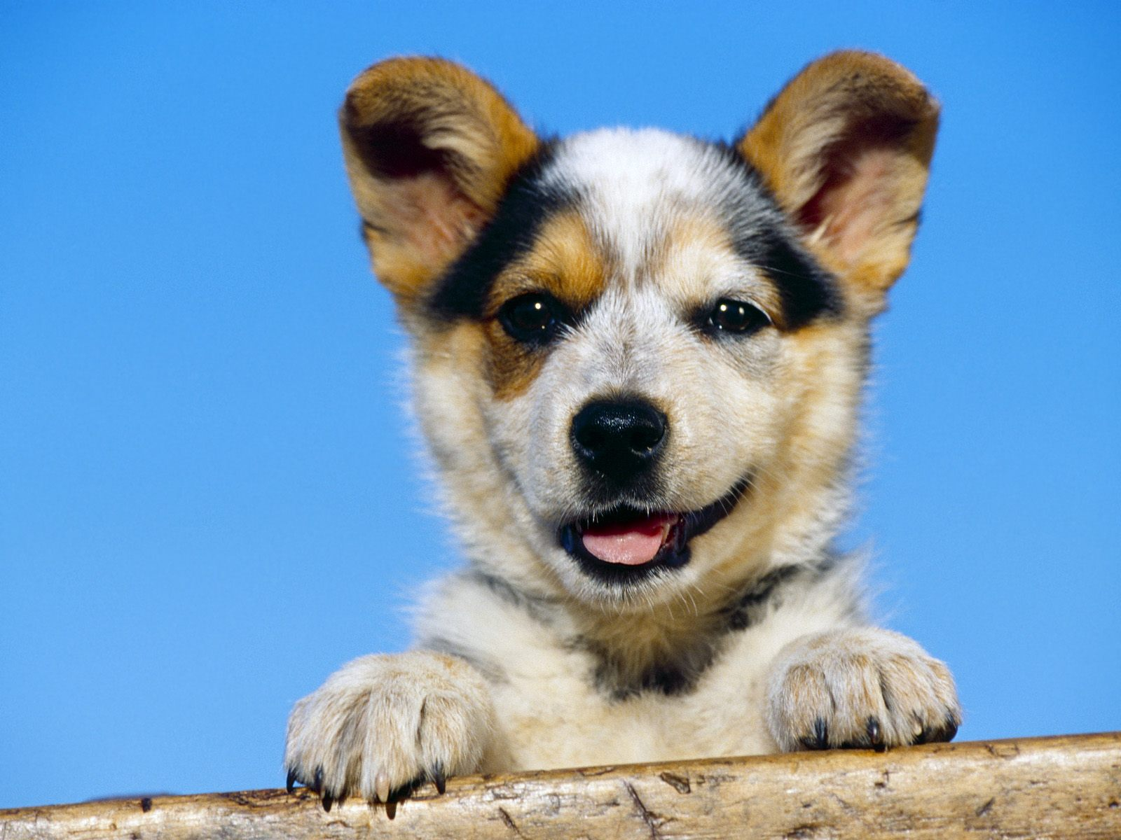 Australian Cattle Dog Puppy Images And Review