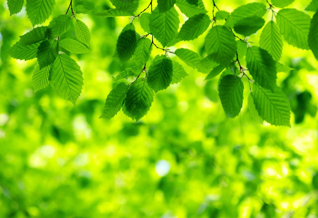 Green leaves hanging from tree branches, blurred sunlight background