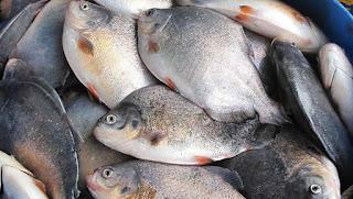 Prefeitura de Sossego distribui nesta quarta peixe para toda a população