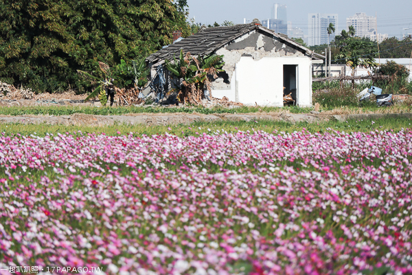 《台中.烏日》學田里論子巷花海|鄉間小路賞800公尺大波斯菊和向日葵花海