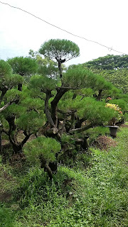Penjual pohon hias bonsai cemara udang