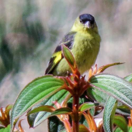 South American bird - Photo of Andean siskin - Spinus spinescens
