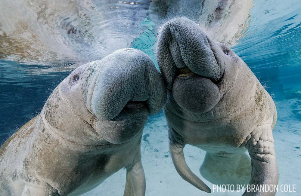 Over the next five years they will be 13 other manatees supplied by zoos around the world, 10 of which will be female.