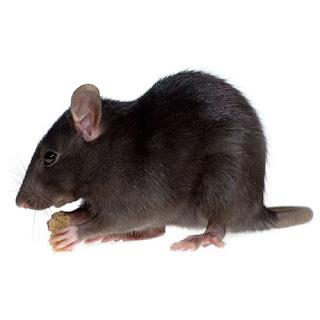 Roof Rat Problems