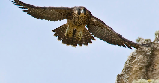 Peregrine Falcons at Montaña de Oro Update