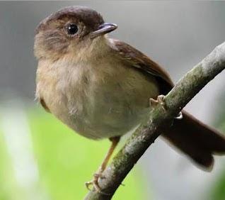 Download 63+ Gambar Burung Flamboyan Jantan Dan Betina Keren Gratis