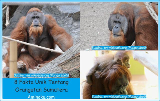 Fakta unik orangutan sumatera