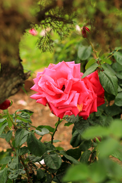 Wonderland of Roses Photo