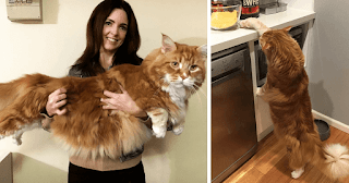 Couple Surprised After They Buy A Tiny Kitty, And It Grows To Be The World's Longest Cat