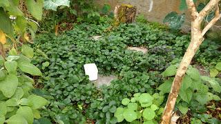 PANCs. Verduras de cor escura curam anemia. beldroega, inhame, taioba