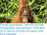 http://sciencythoughts.blogspot.com/2018/10/pongo-pygmaeus-148-500-borneo.html