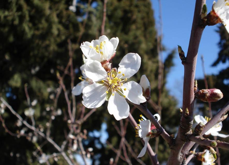 Flowering Petals: Almond Blossom - photo#21