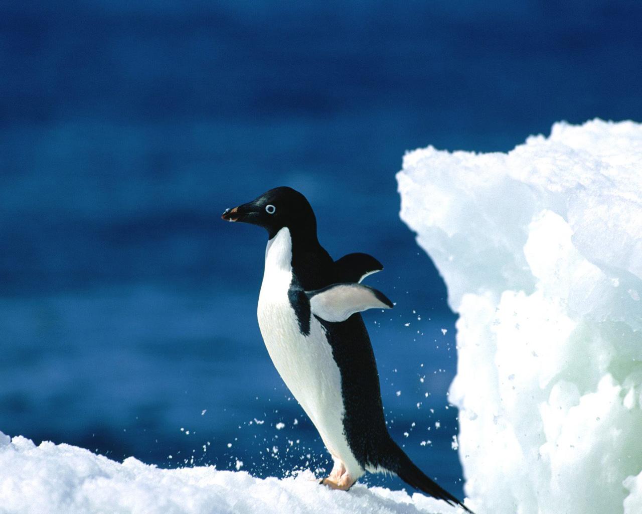 Free Penguin