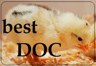 pemilihan doc ayam sehat
