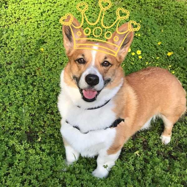 English Crown loves corgis