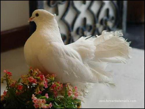 104  Gambar Burung Merpati Cantik  Terbaru Gratis