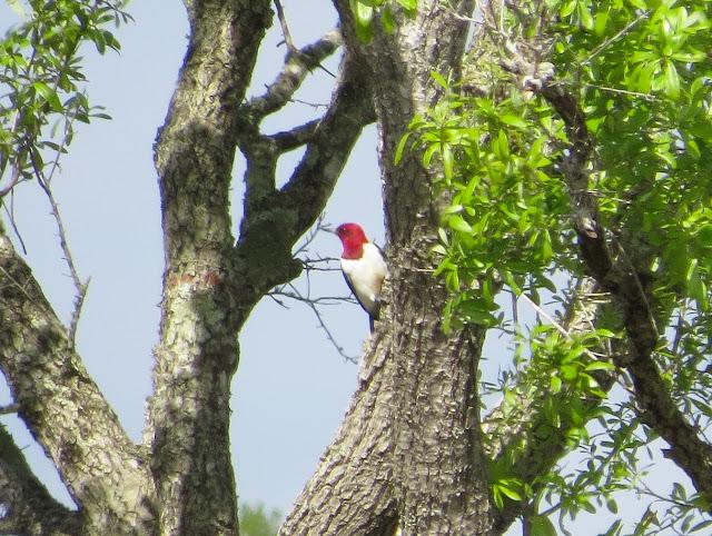 Red-headed Woodpecker - Three Lakes WMA, Florida