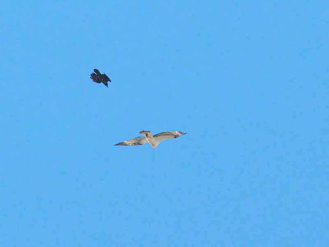 Crow chases Osprey in flight