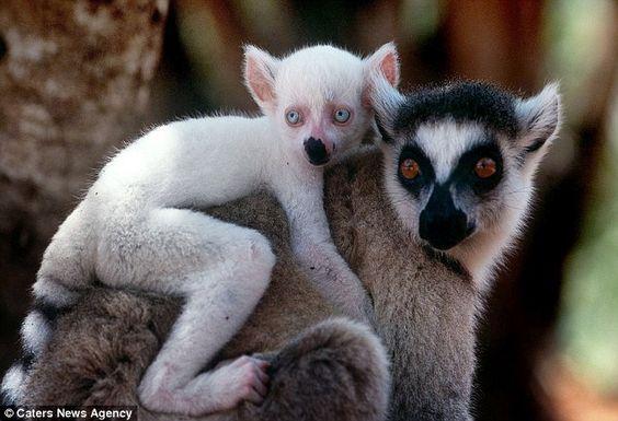 Lemur | A-Z List of 125 Rare Albino Animals [Pics]