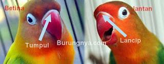 Beda Lovebirds Jantan dan Betina