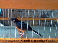 Cara Melatih Burung Mandi Karamba