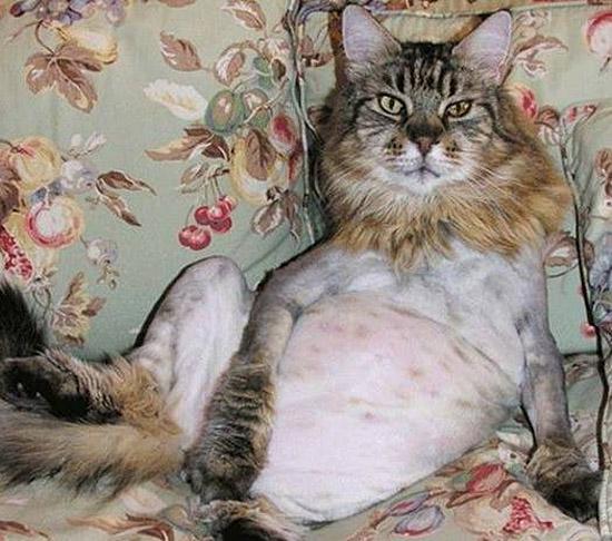 Gatos depilados - pelos raspados