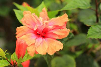 Orange Hibiscus Flower Photography by Mademoiselle Mermaid