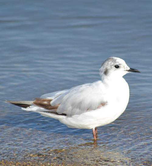 Indian birds -Image of Little gull - Hydrocoloeus minutus