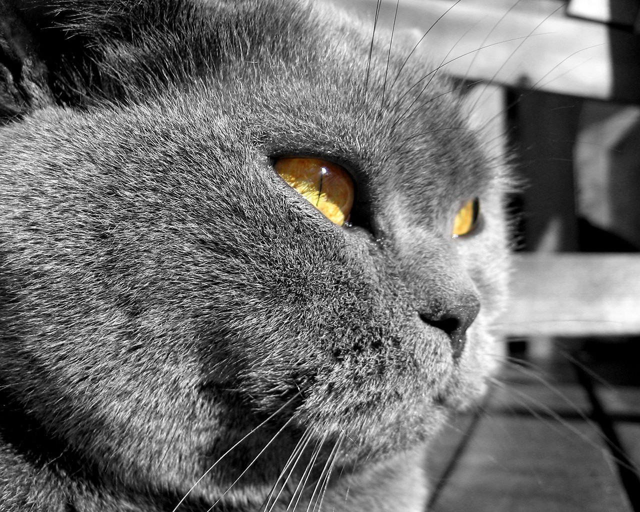 Angry Fat Tomcat With Yellow Eyes HD Wallpaper