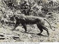 Benarkah Harimau Jawa Belum Punah ?