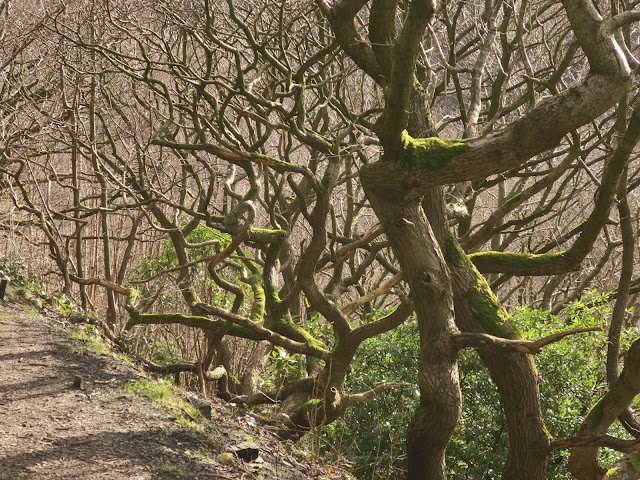 Twisted trees on the steep bank at the side of one of the paths in Shroggs park, Halifax, West Yorkshire